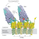 Structural studies of integral membrane proteins involved in cellular signaling