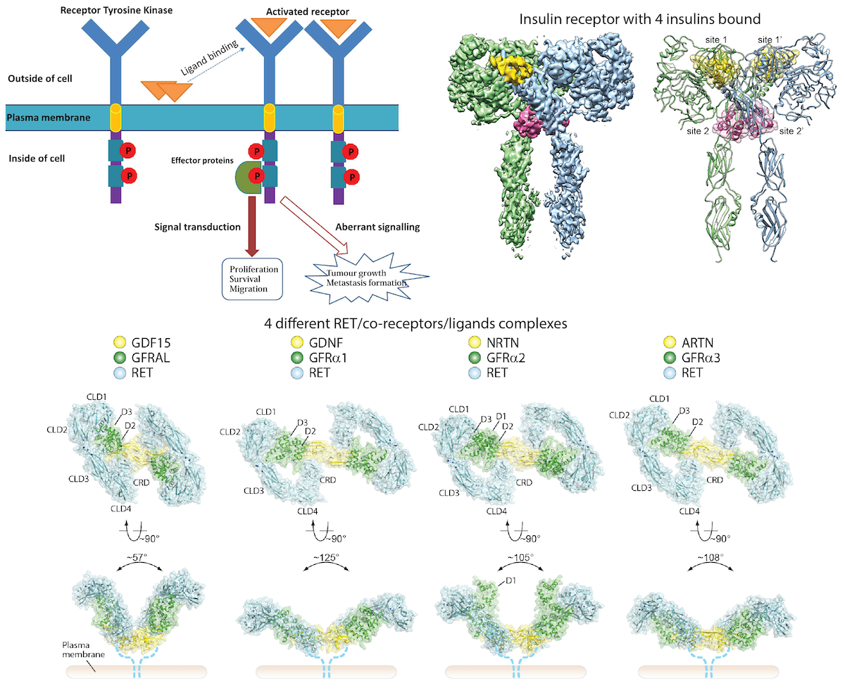 Structural and functional studies of full-length receptor tyrosine kinases